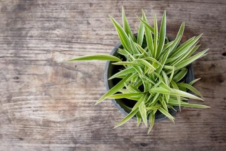 Freshness of chlorophytum
