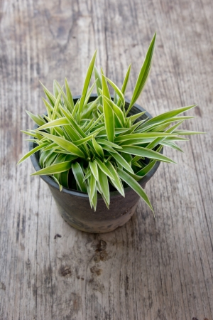 Freshness of chlorophytum
