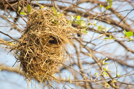 weaver bird nest: Weaver bird nest in Thailand