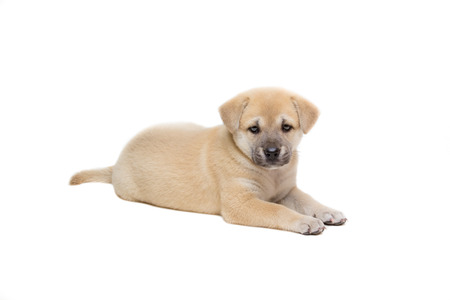 白い背景の上に敷設の子犬