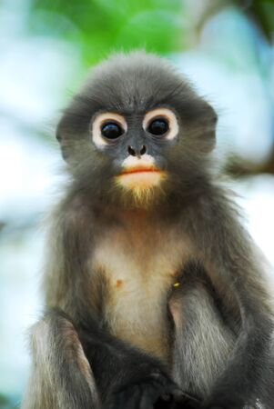 Dusky Leaf Monkey  Stock Photo - 13677787