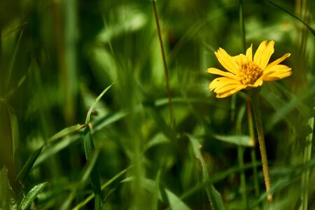 Close up yellow Dandelion and green grass (flower)