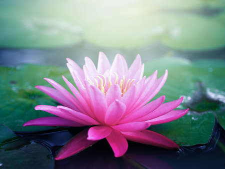 Beautiful pink lotus flower, lily water in a pond Imagens