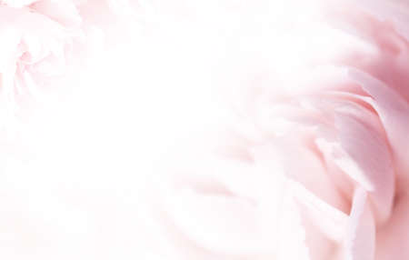 sweet pink carnation flowers in soft color and blur style for valentine background