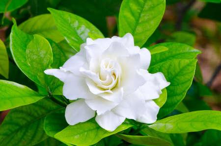 jasmine bush: Gardenia jasminoides in Thailand 2 Stock Photo