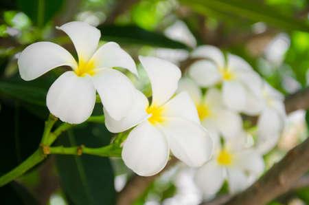 five petals: White frangipani flowers has five petals