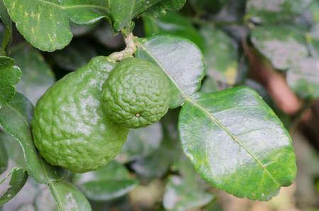 sanguisuga: Due leech calce frutti appesi sul suo piccolo albero