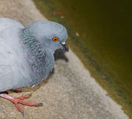 Single pigeon isolation on old pond pitiful photo