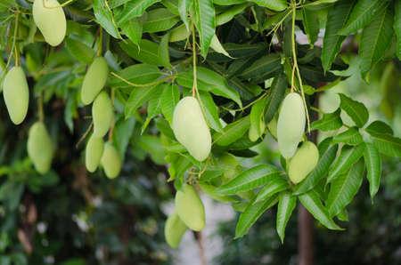 mango tree: Green Mangoes on the tree in Thailand Stock Photo