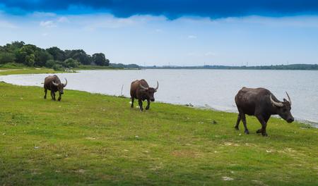thailand buffalo eating grass