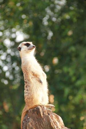 suricate: Meerkat,Suricate
