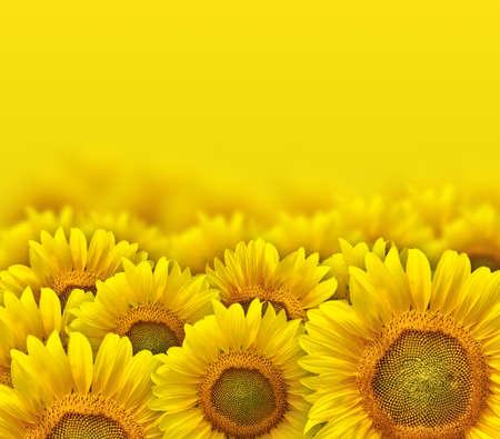 beautiful yellow sunflower petals