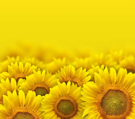 agribusiness: beautiful yellow sunflower petals