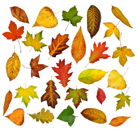 Autumn leaves set  Isolated on white