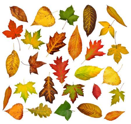 Hojas de otoño conjunto aislado en blanco Foto de archivo