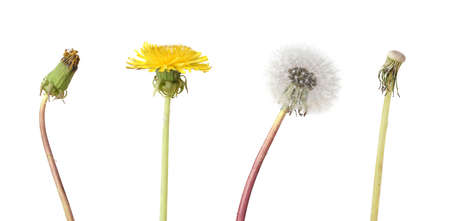 Four stage of a dandelion isolated on white background