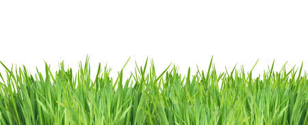 solated: green grass solated on white background