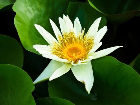 lotus temple: lotus