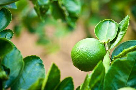 lemon Stock Photo - 11675575