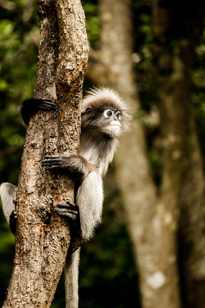 dusky: Dusky leaf monkey