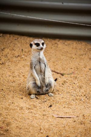 meerkat looking something to eat