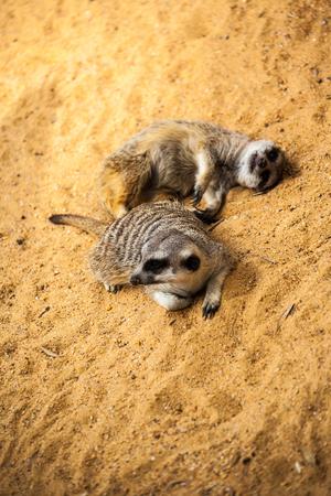 meerkat taking a nap on sand