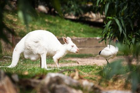 Wallaby look like aKangaroo in Australia