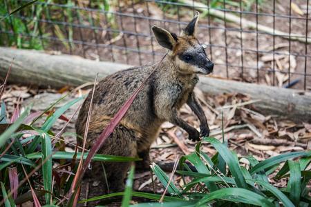 Wallaby look like a Kangaroo