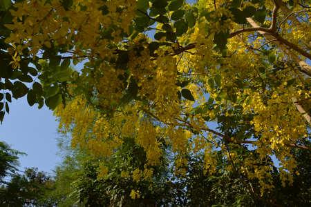 the drumstick tree: A flower  Golden shower tree