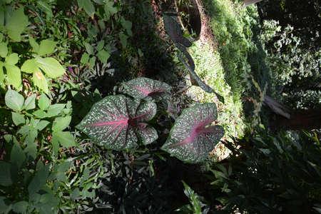 lotus leaf: lotus leaf