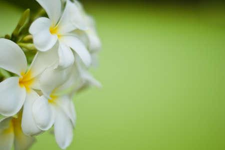 plumeria on a white background: Frangipani