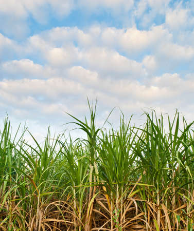 Sugarcane is grown and used extensively around the world photo