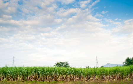 Sugarcane is grown and used extensively around the world
