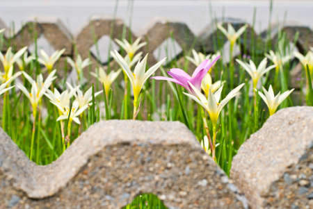 rain Lily scientific name zephyranthes spp Stock Photo