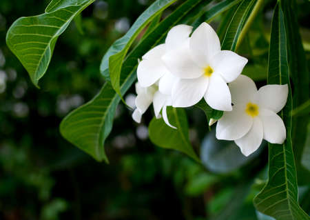Frangipani flower , The scientific name  Plumeria