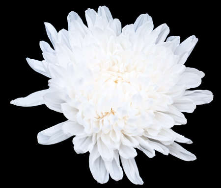 White Chrysanthemum isolated on black background
