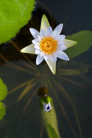 Purple Lotus  on Lotus ponds. Stock Photo