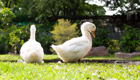 bird web footed: white duck on a green lawn Stock Photo