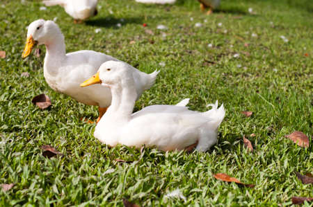 web footed: white duck on a green lawn Stock Photo
