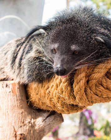 bearcat: Binturong, Bearcat or Arctictis binturong