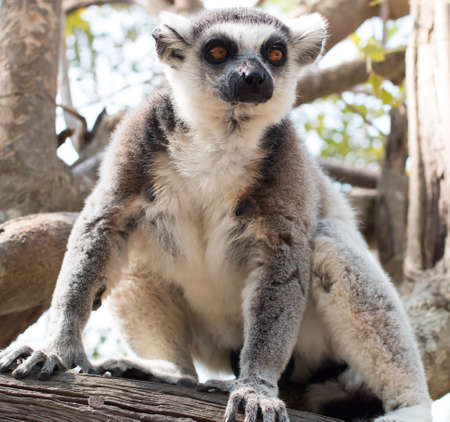 Lemur catta or Lemuriformes, Khao Kheow Open Zoo in thailand photo
