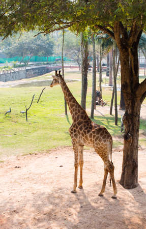 Giraffe under a tree, Khao Kheow Open Zoo in thailand Stock Photo