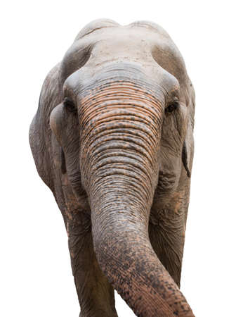 head of a Asian elephant Isolated on white background Stock Photo