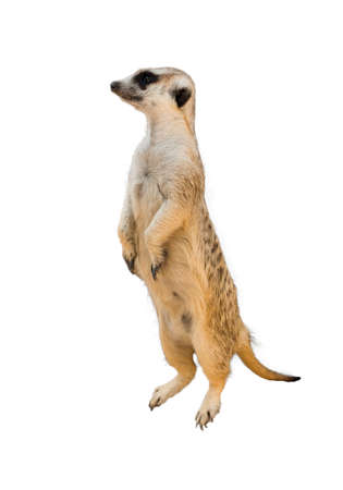 Alert meerkat  Suricata suricatta  standing on guard Stock Photo