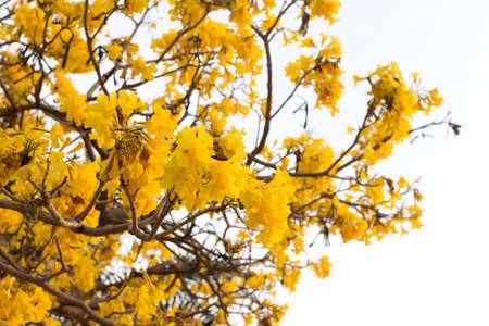 Silver trumpet tree  Tabebuia aurea, Tree of gold,Paraguayan silver trumpet tree