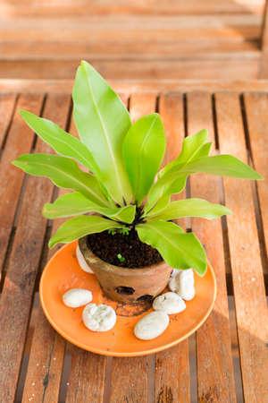 Birds nest fern  in pots Stock Photo