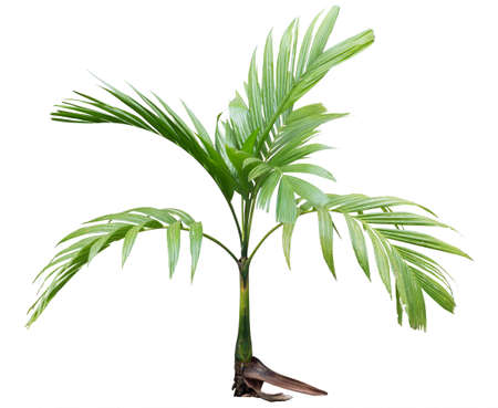 small betel palm tree isolated on white photo