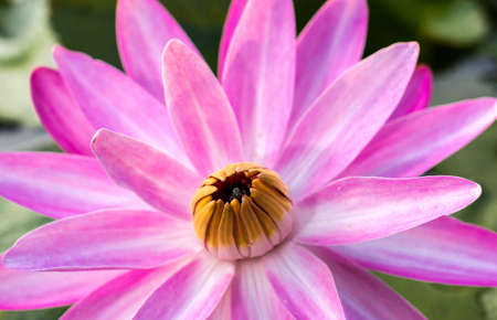The lotus flower close up