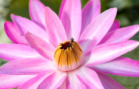 lotus flower.Background is the lotus leaf and lotus flower Stock Photo