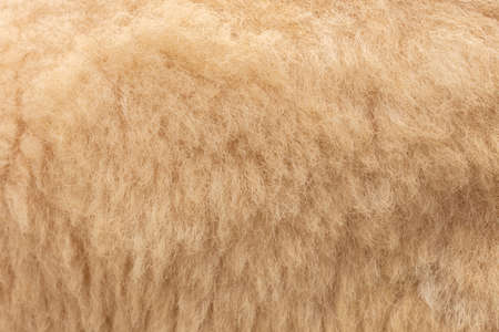 Raw wool background. softness and warmness.